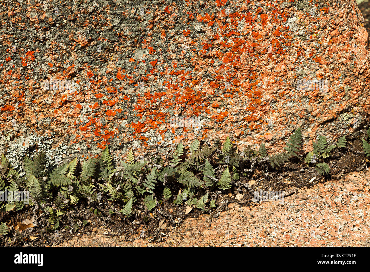 Ferns surviving in narrow crack at base of lichen covered granite boulder Enchanted Rock State Natural Area Texas - Stock Image