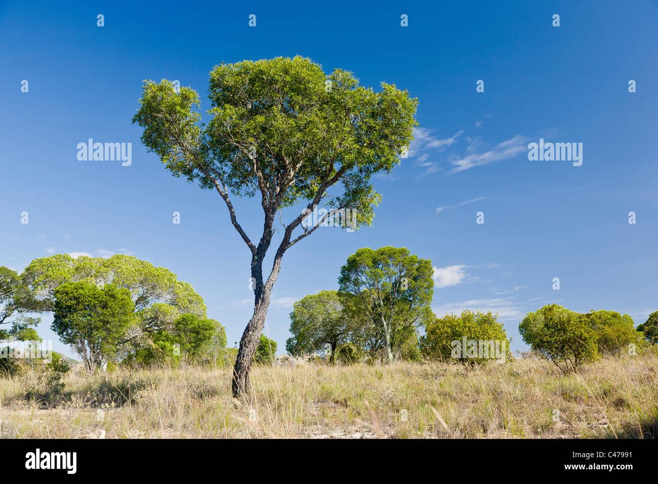 Tapia tree, Uapaca bojeri, Isalo, Madagascar - Stock Image