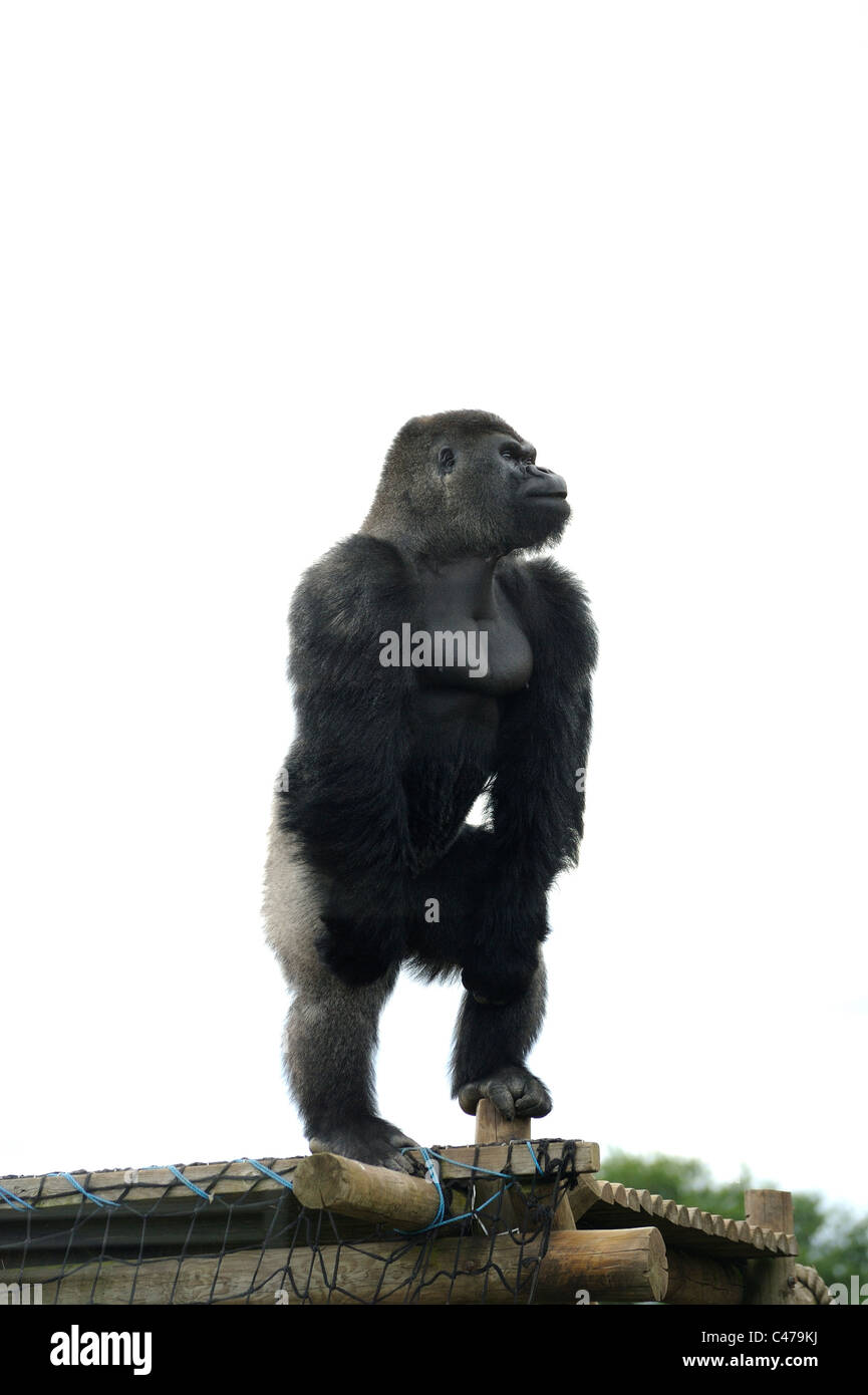 Gorilla Upright Stock Photos & Gorilla Upright Stock Images - Alamy