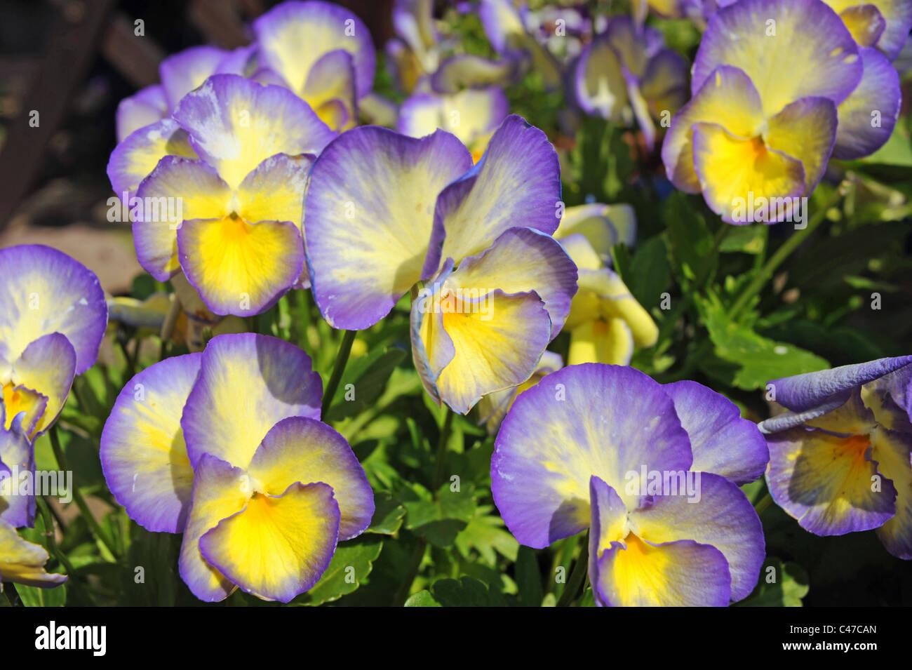 Purple and yellow viola flowers in full bloom in british garden purple and yellow viola flowers in full bloom in british garden during summer season credit simon dack mightylinksfo