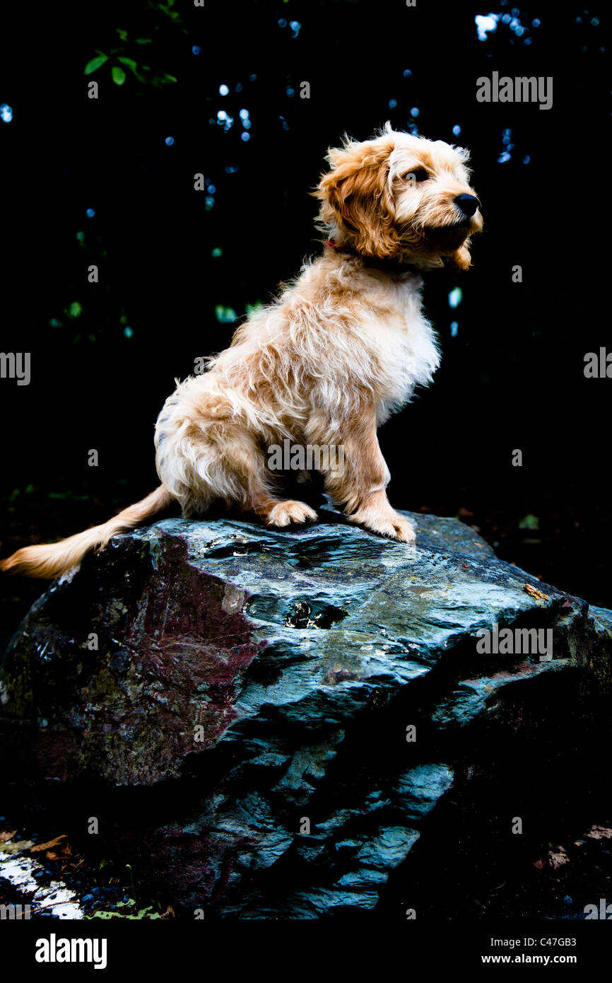 Cockapoo Puppy Dog on a Rock - Stock Image