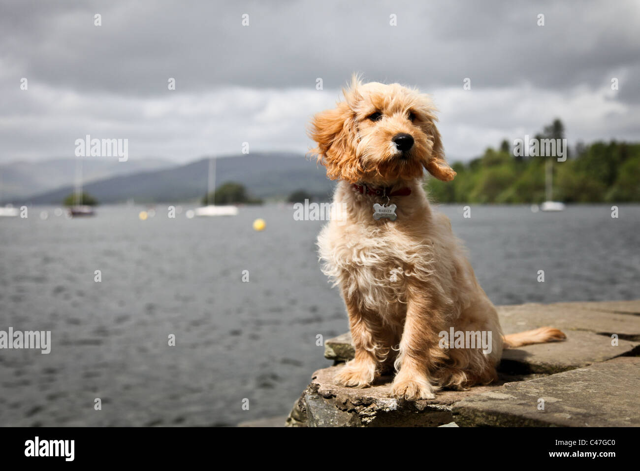 Cockapoo Puppy Dog on a rock next to a lake - Stock Image