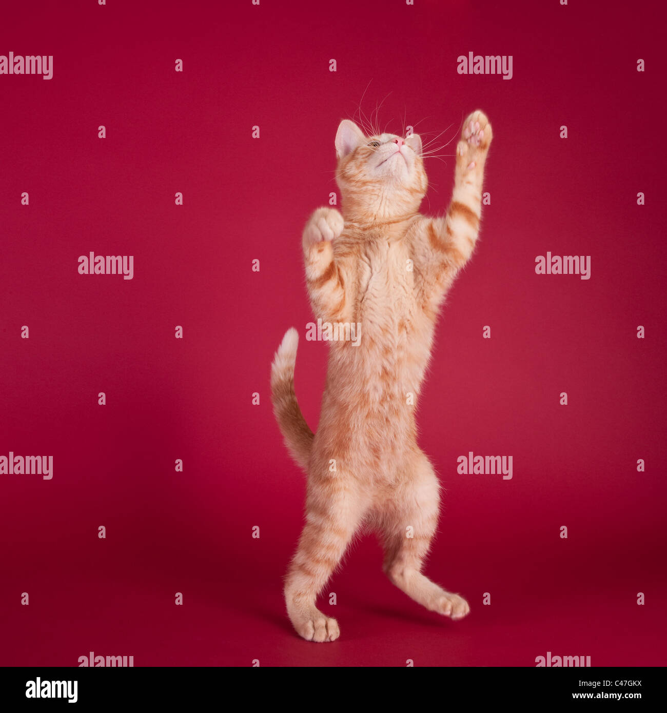 Studio portrait of a kitten standing on hind legs and reaching with front paws on a red background - Stock Image