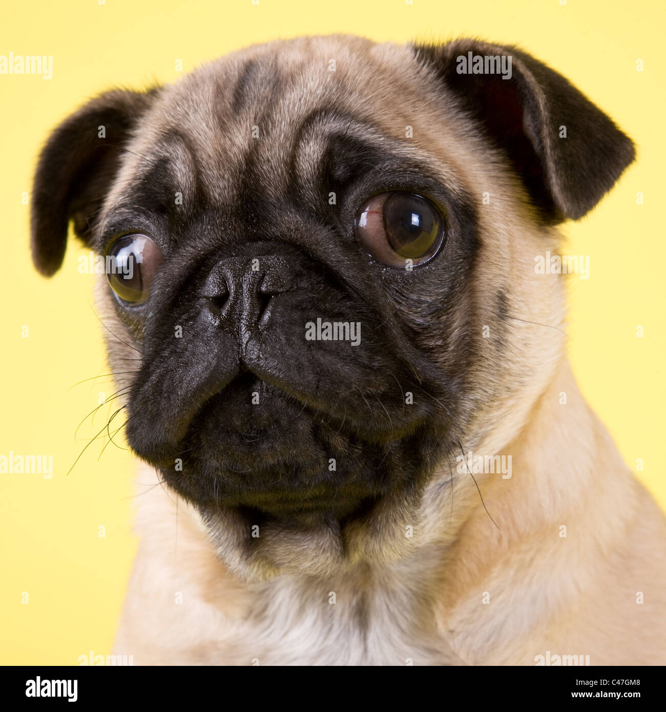 Studio portrait of a Pug dog photographed while waiting to be adopted from the humane society. - Stock Image