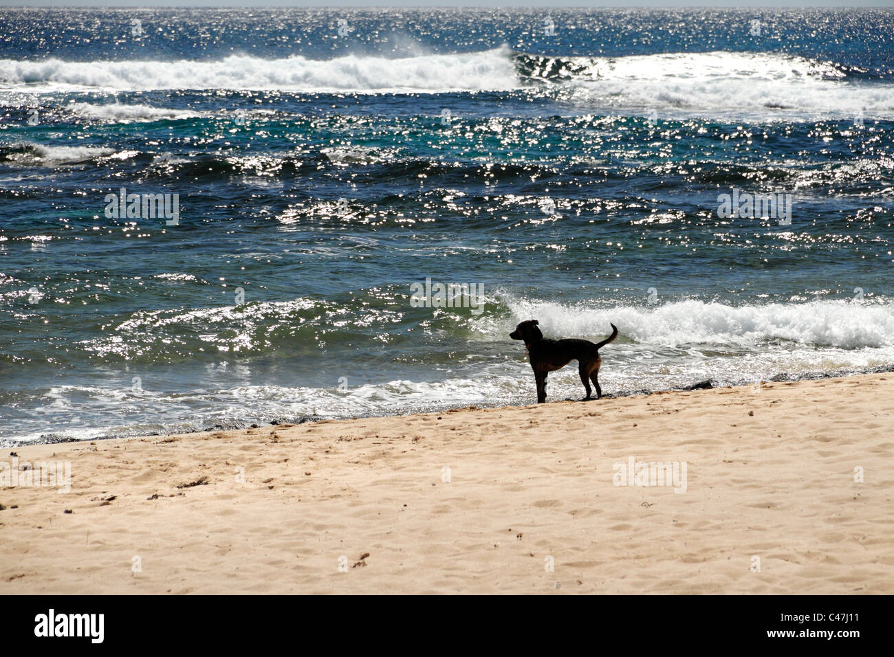 Dog on beach watching the ocean waves Stock Photo