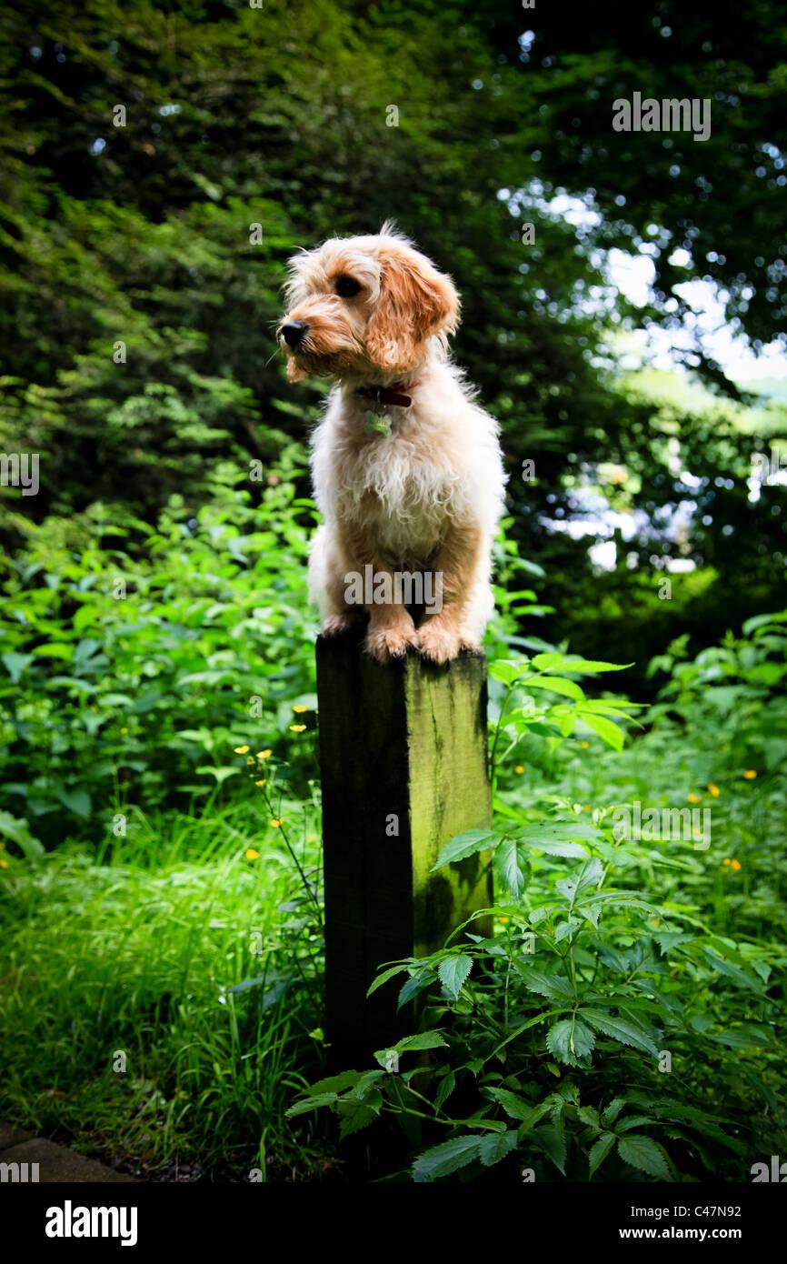 Cockapoo Puppy Dog balanced on a woodland post - Stock Image