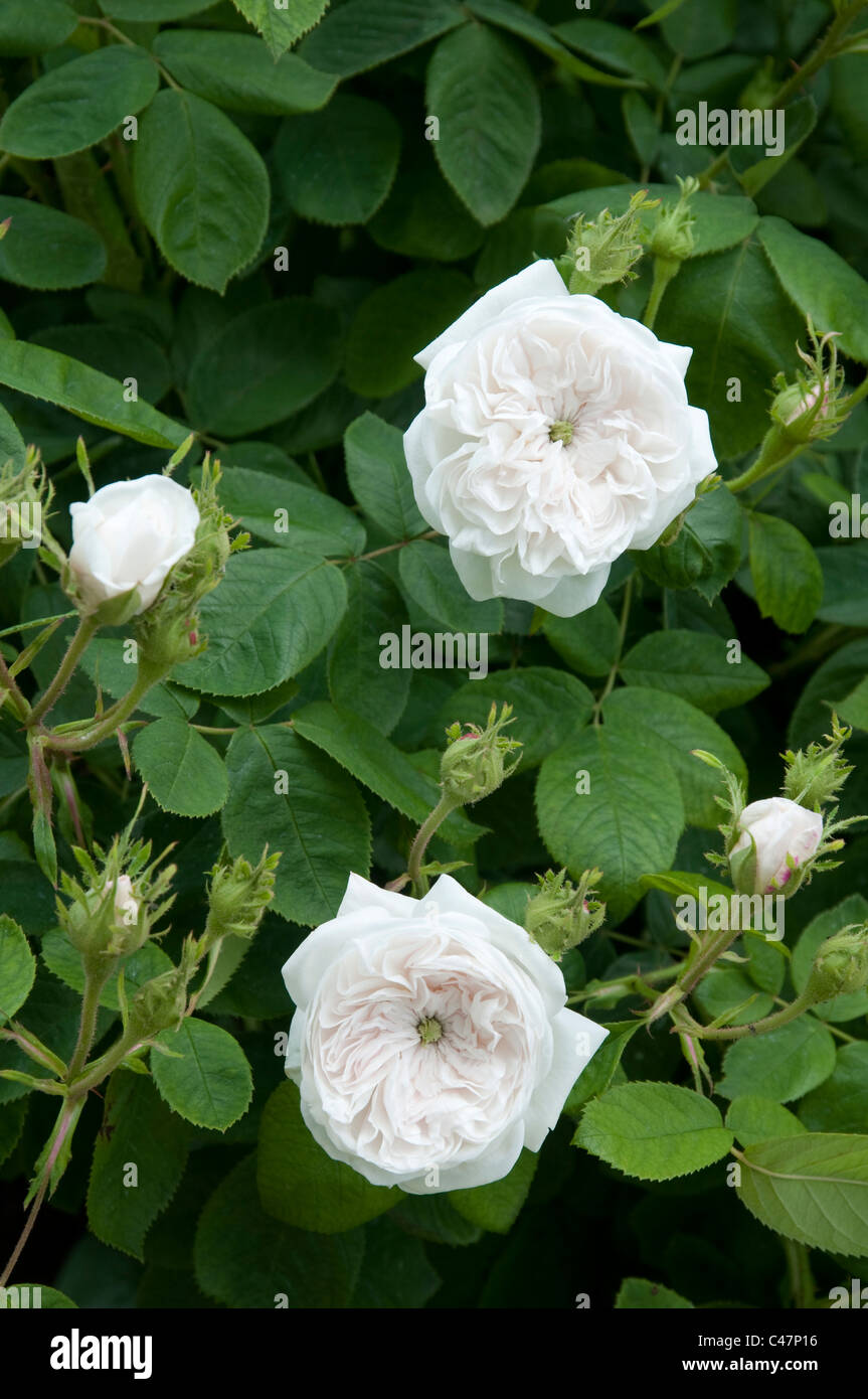 Rosa Madame Hardy - an old damask rose - characterized by a centre green eye. Stock Photo