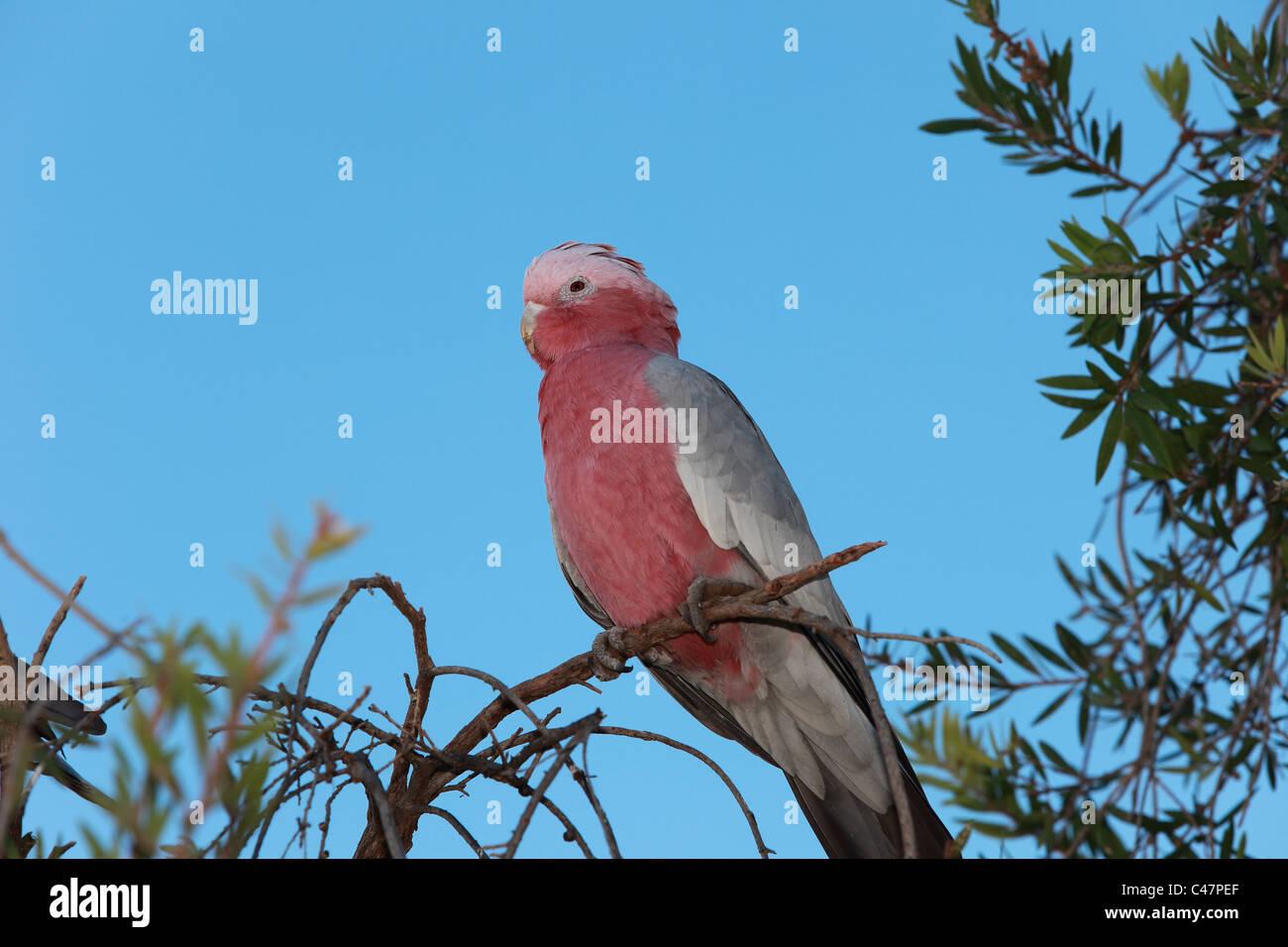 Australian Galah sitting in a tree, Cacatua roseicapilla  native only to Australia - Stock Image