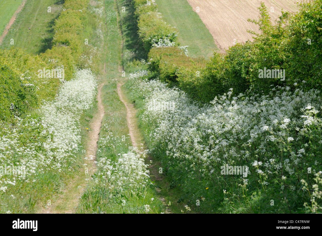 Farm track with mature hedgerows and cow parsley, Norfolk, UK, May - Stock Image