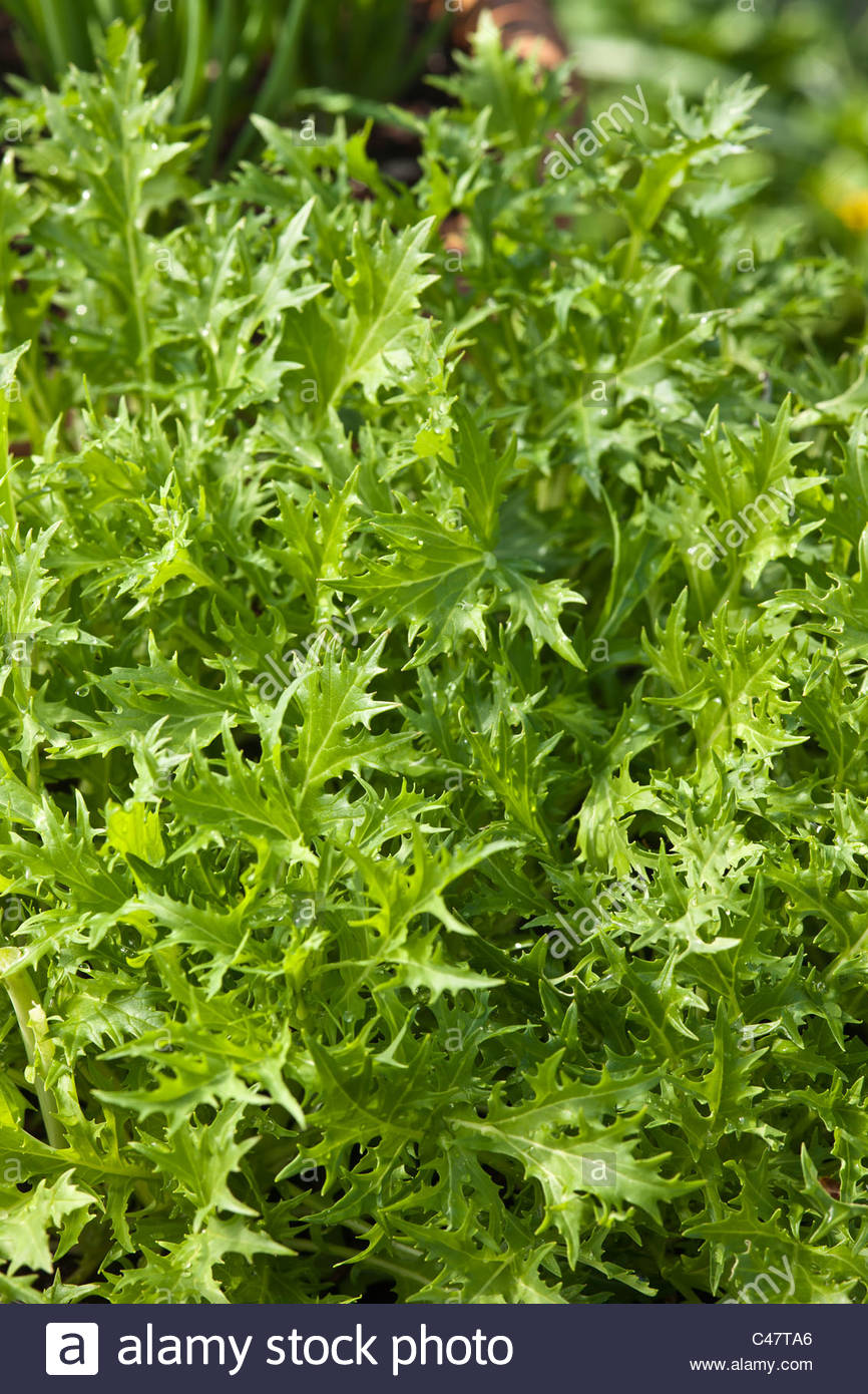 salad Mizuna leaf home grown organic container grow sprouing soil edible kitchen garden plant April - Stock Image
