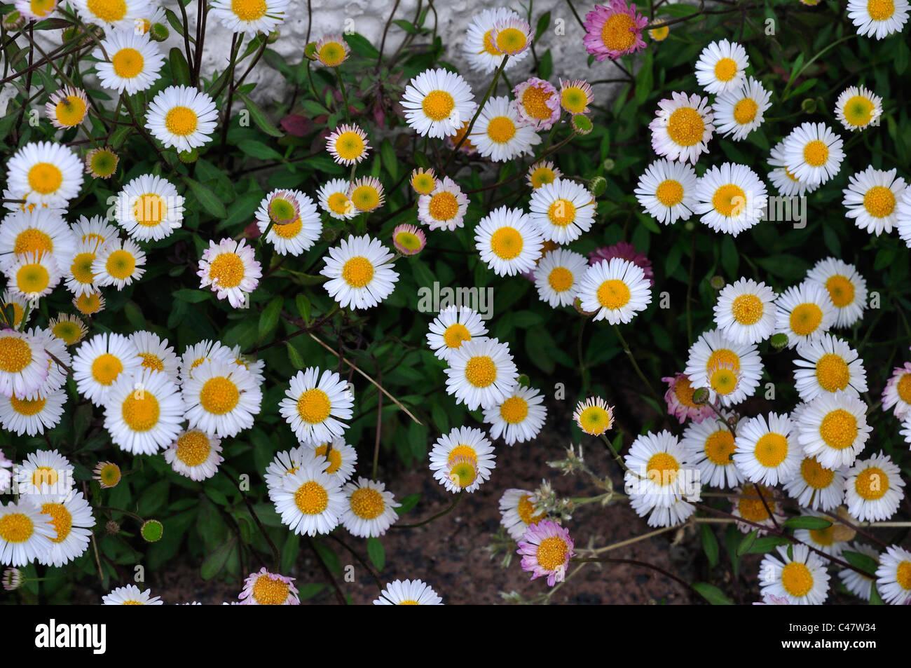 The tiny daisy like flowers of erigeron which self seeds happily in the tiny daisy like flowers of erigeron which self seeds happily in the rockery area of the garden uk izmirmasajfo