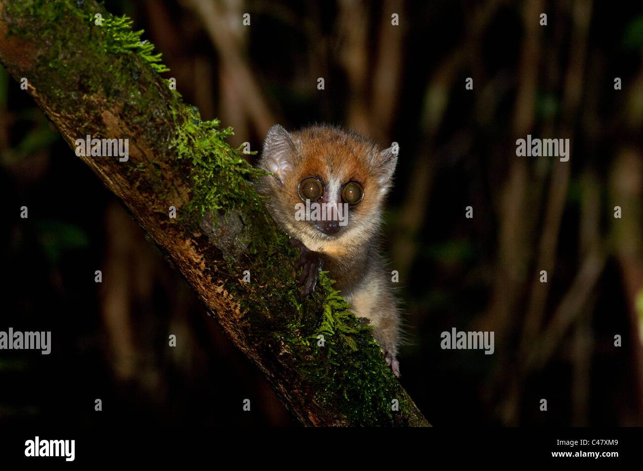 smallest lemur maki mouse mousemaki wildlife small big eye Kirindy Ranomafana Madagascar madagaskar wild forest - Stock Image