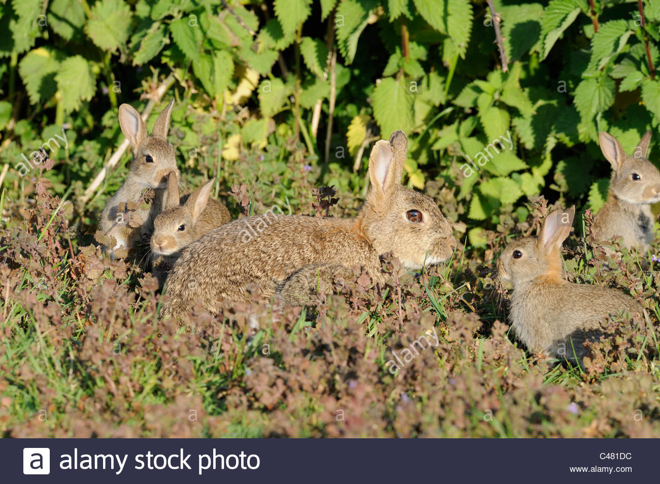 European Rabbits, oryctolagus cunniculus adult female with young outside warren, Norfolk, England May - Stock Image