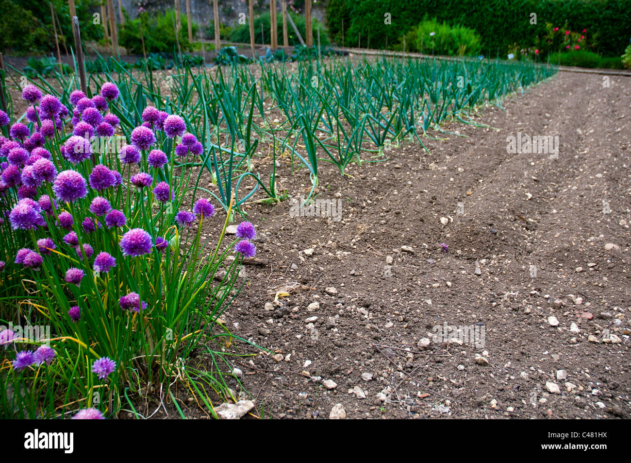 lines of onions and flowering chives being grown in a formal vegetable garden - Stock Image