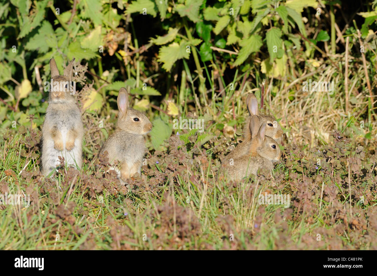 European Rabbits, oryctolagus cunniculus, youngsters outside warren, Norfolk, England May - Stock Image