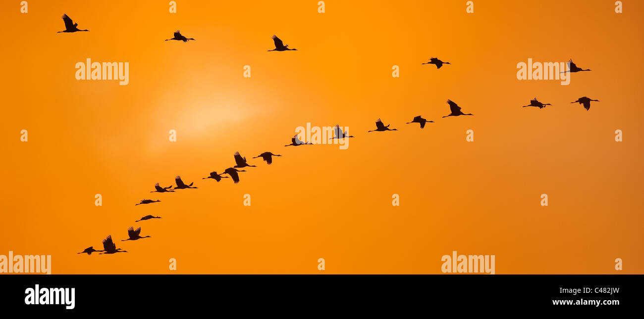 flying geese at passage of birds - Stock Image
