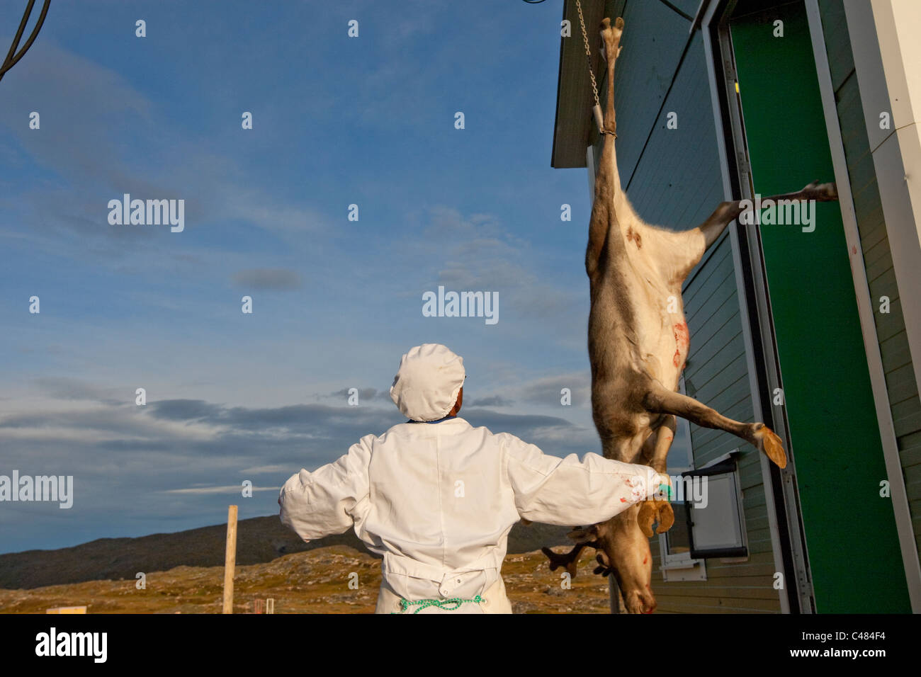 At a Reindeer farm at Isortoq, Greenland there was a roundup of about 200 reindeer to be slaughtered for their meat. - Stock Image