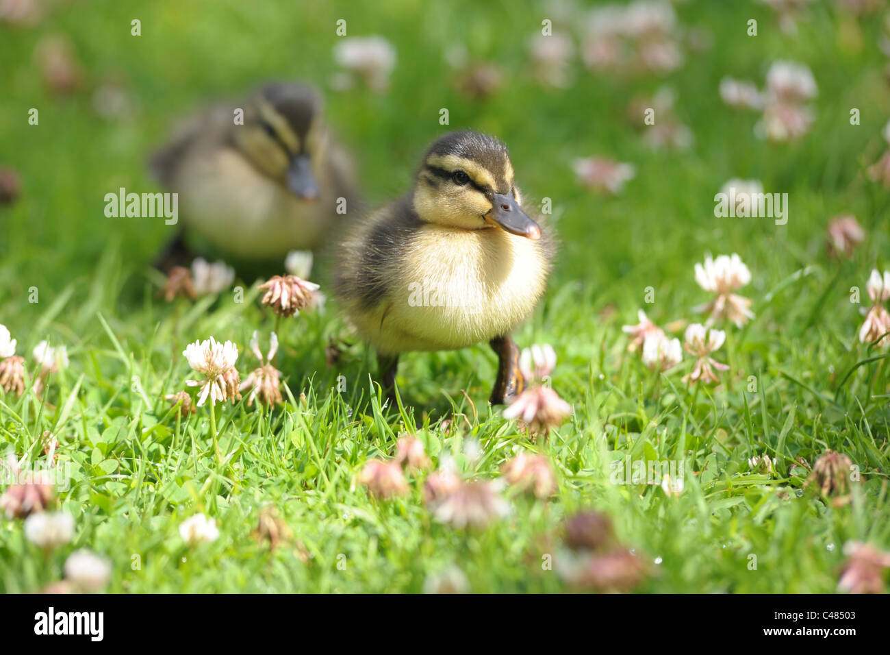 A close up of a pair of cute, baby ducklings walking through the grass.... Stock Photo