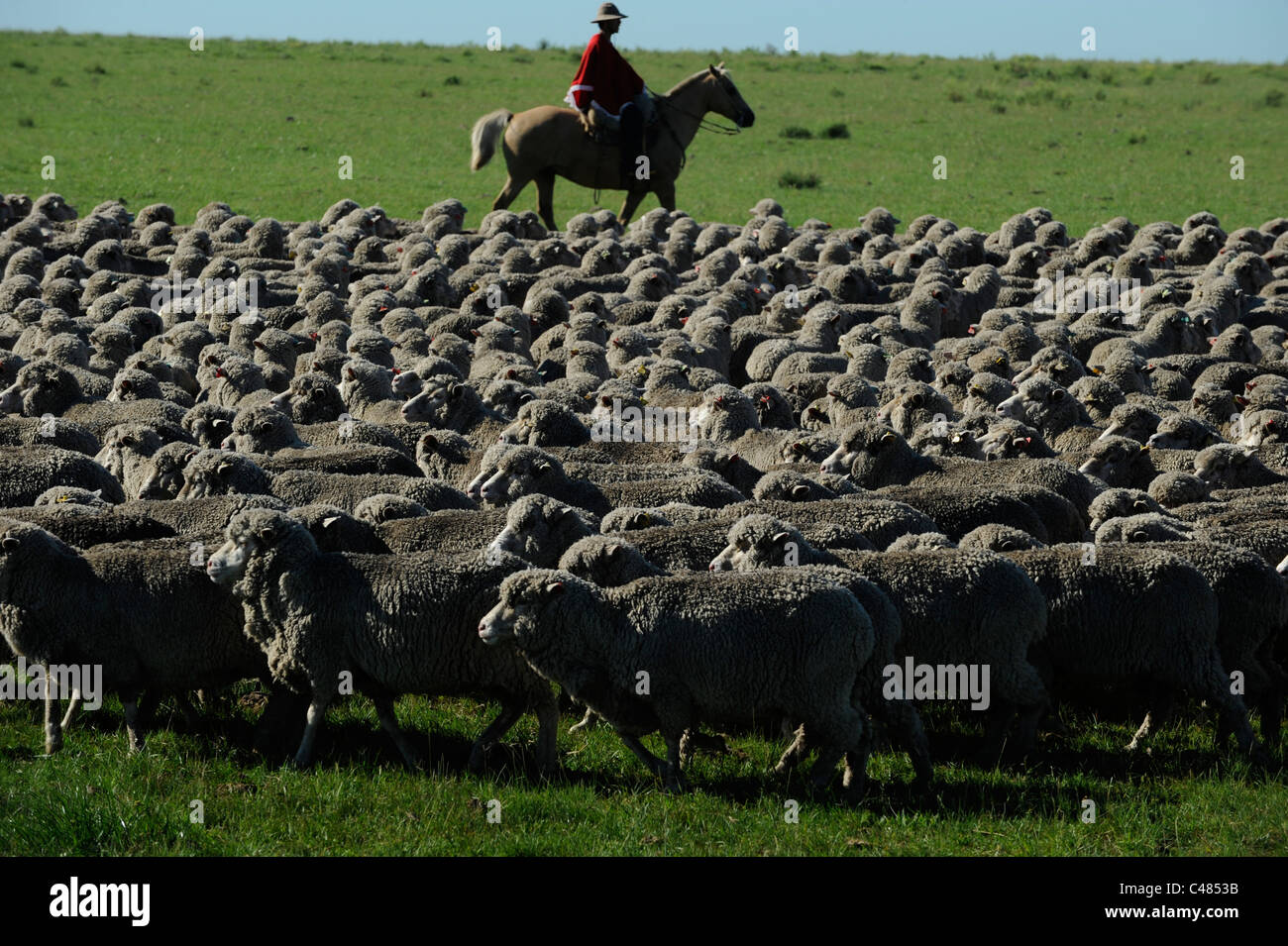 URUGUAY agriculture and livestock , Gauchos with horse and Merino sheeps cattle on grasslands - Stock Image
