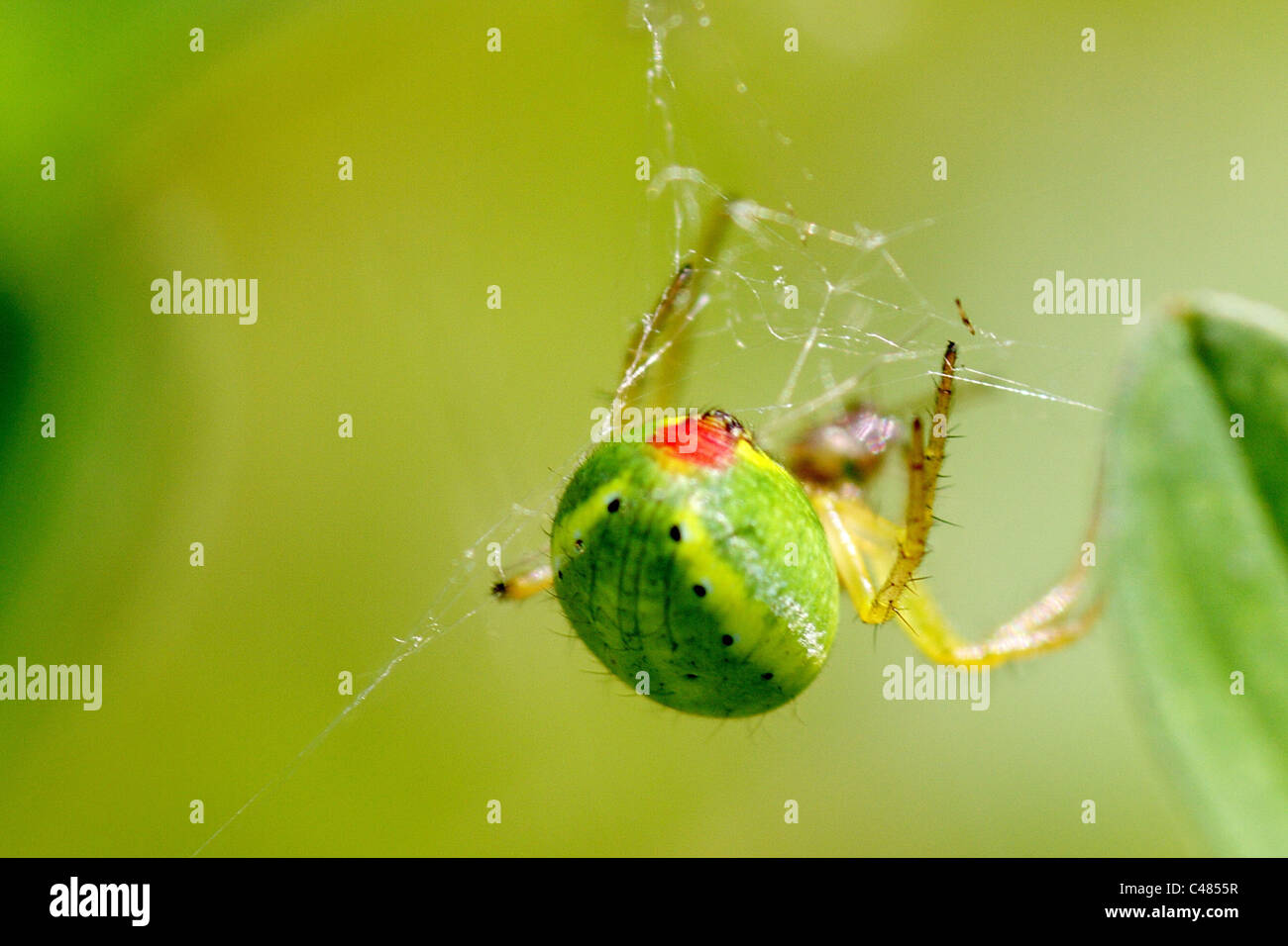 Cucumber Spider, Araniella Cucurbitina with red spot on back - Stock Image