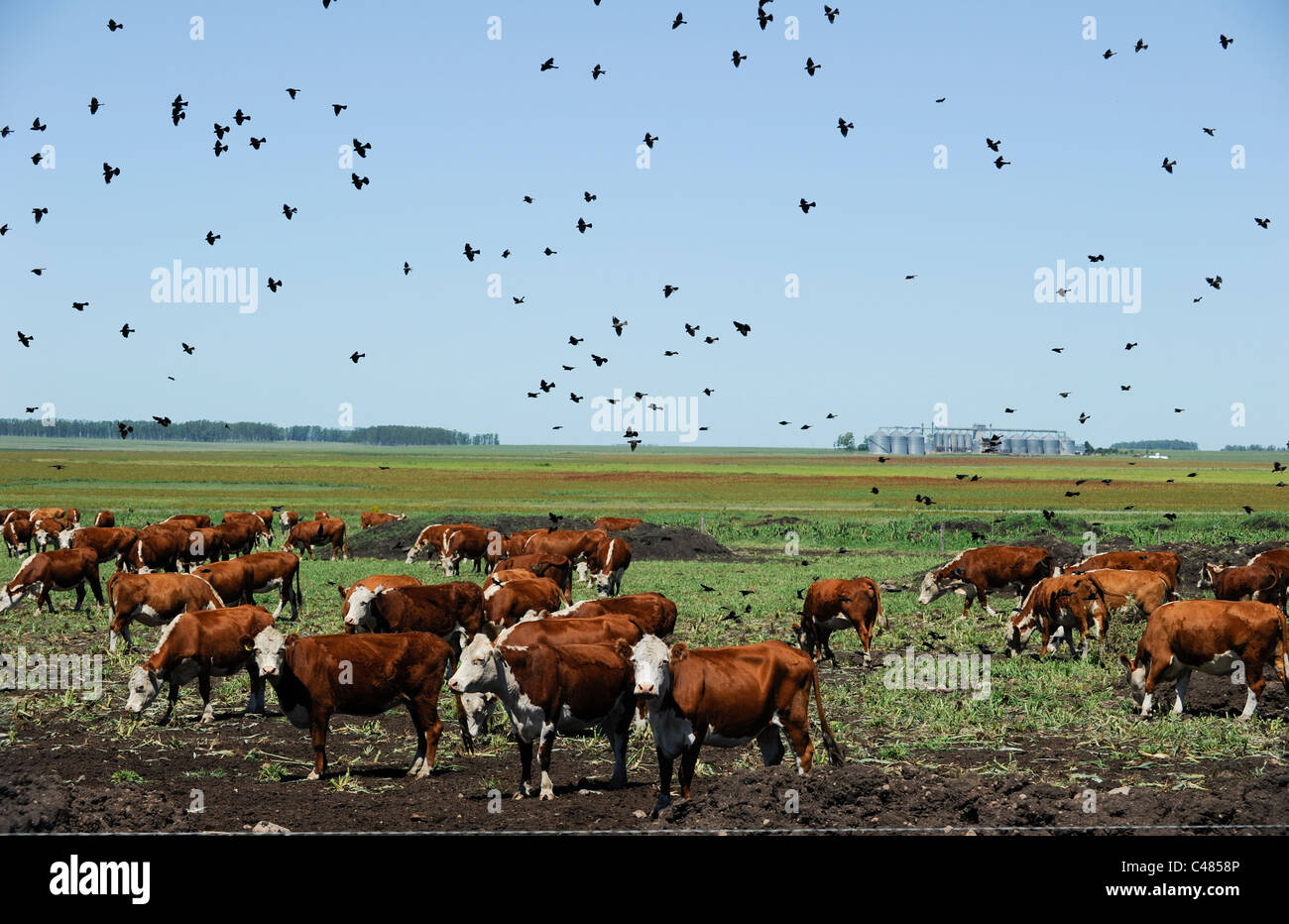 URUGUAY agriculture and livestock , cow cattle in feed lot - Stock Image