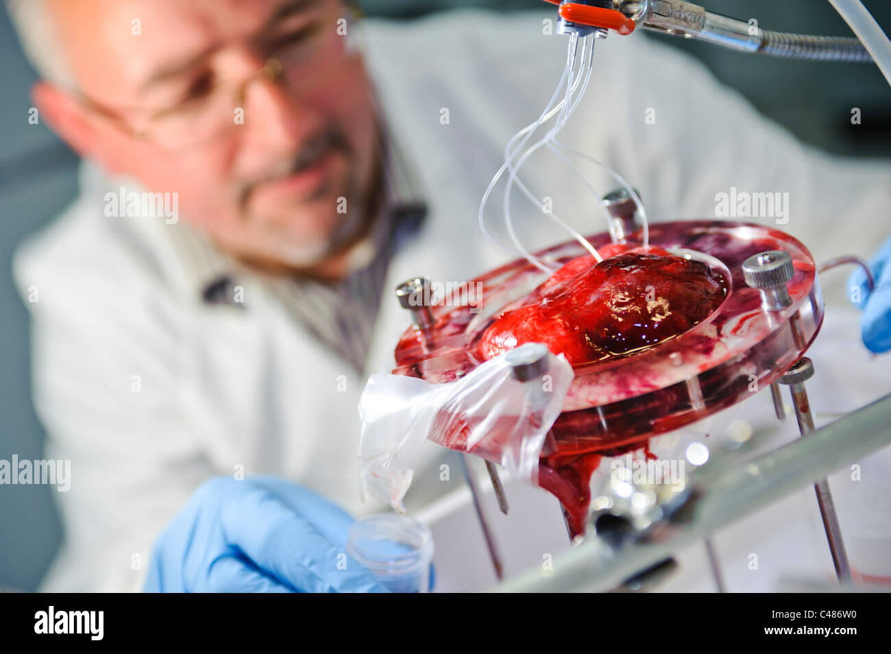 Male scientist in white lab coat and blue gloves perfusing a human placenta in a science lab - Stock Image