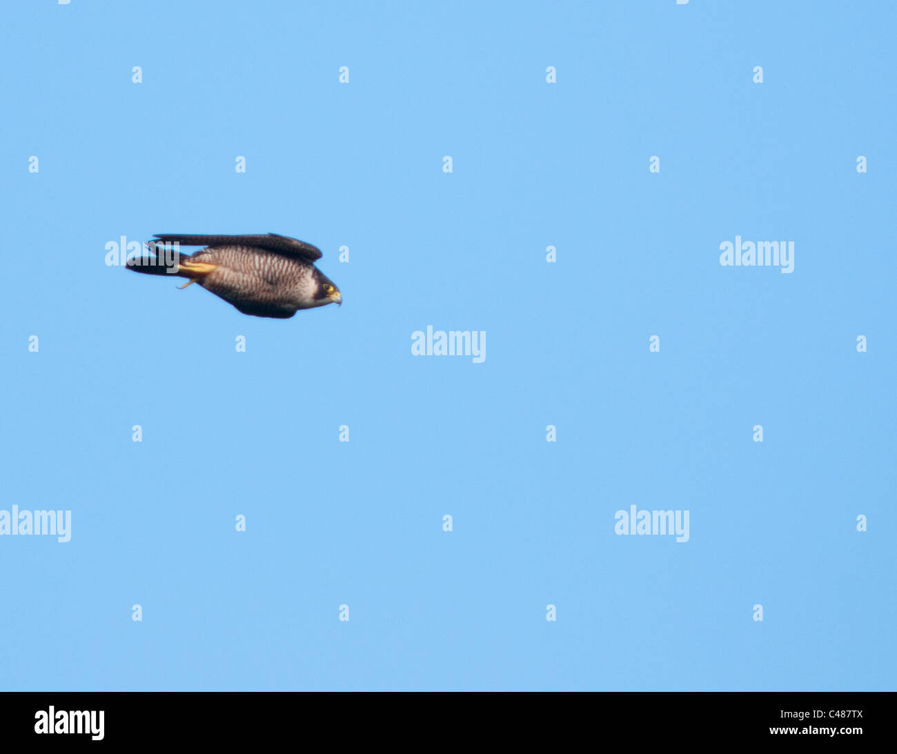 Peregrine Falcon (Falco peregrinus) in full speed stoop in pursuit of prey off the Pembrokeshire coast in Wales - Stock Image