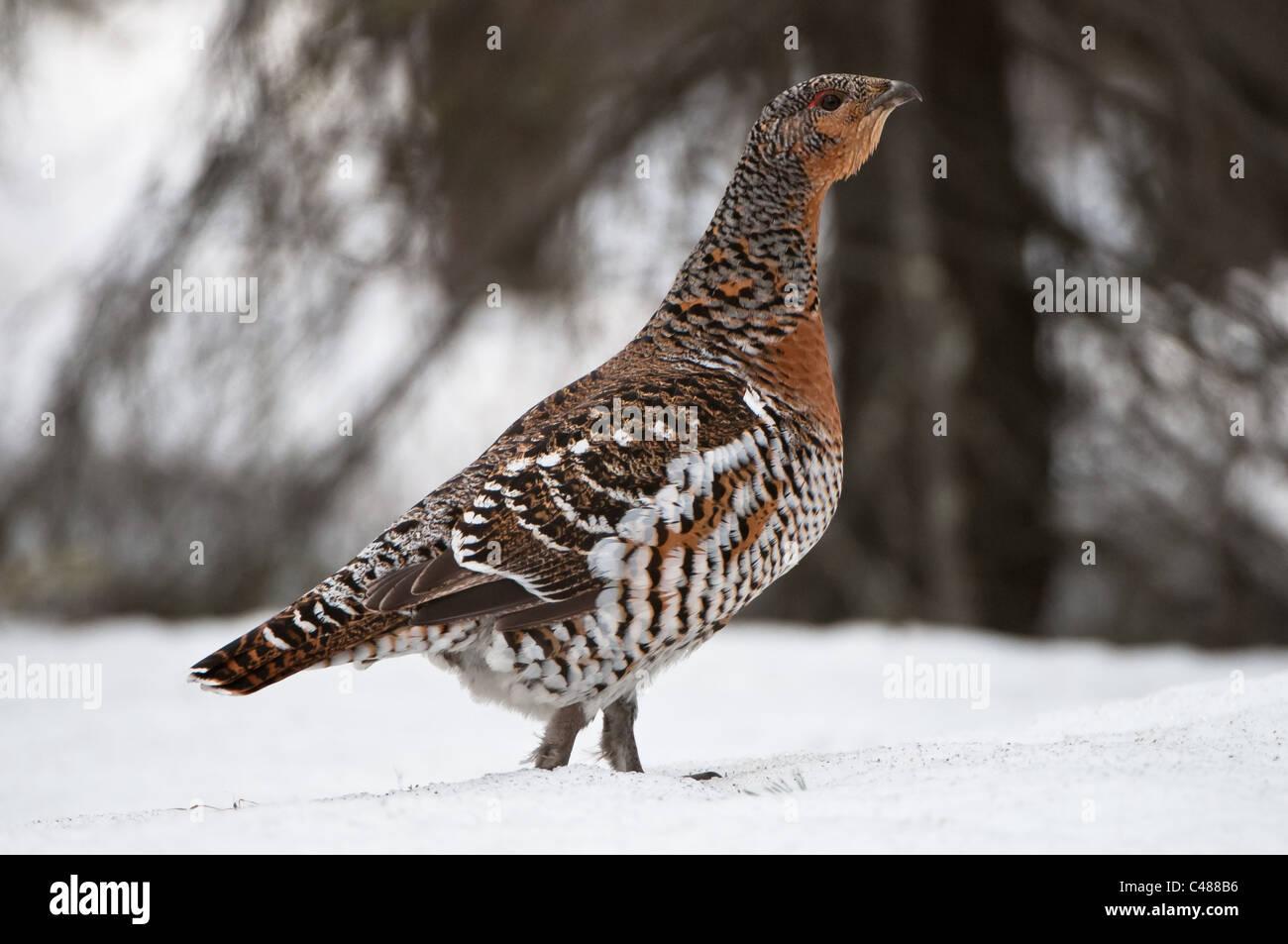 Auerhenne ,Tetrao urogallus, capercaillie hen, Norrbotten, Lappland, Schweden, Sweden Stock Photo
