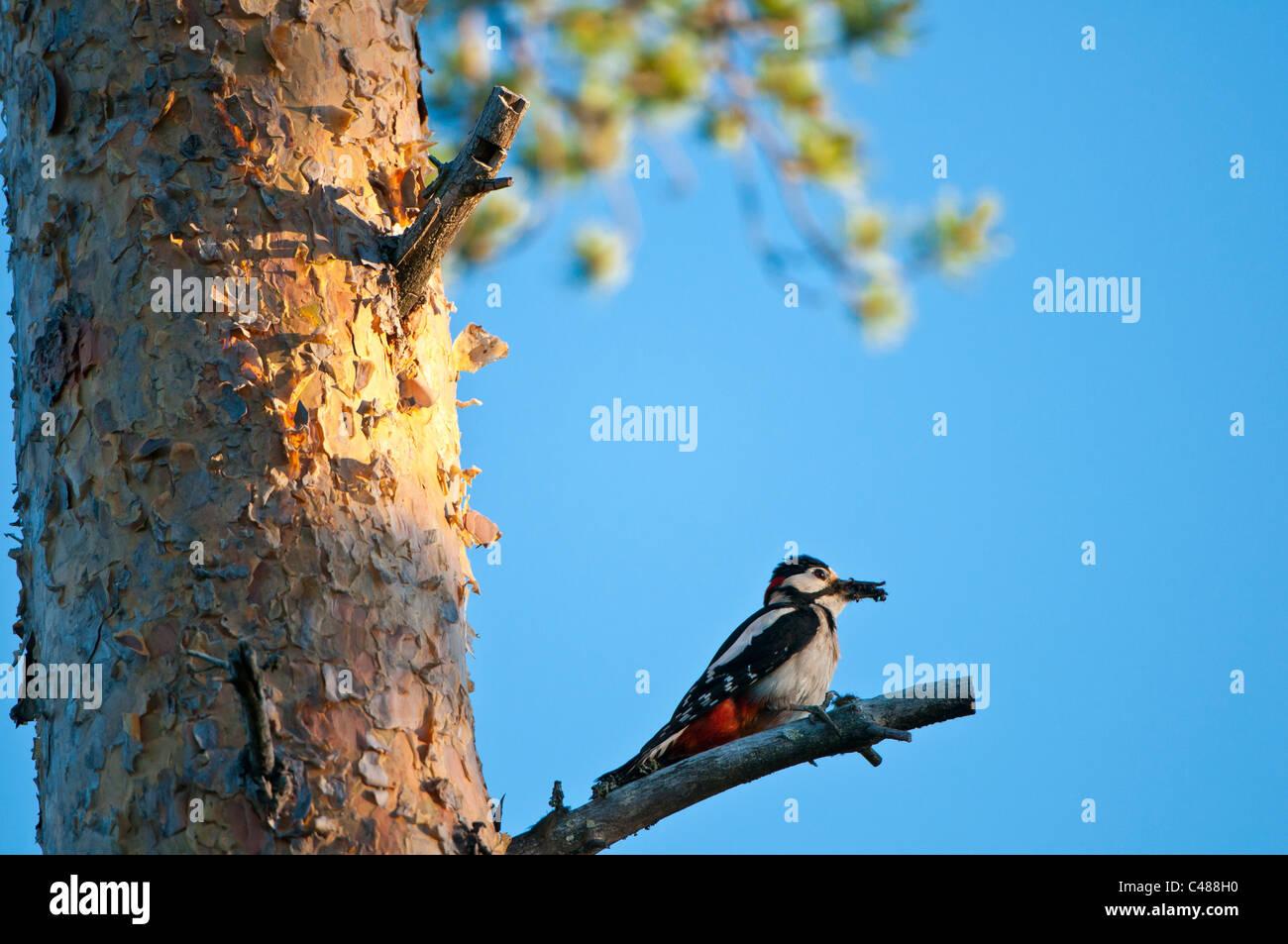 Buntspecht, Maennchen, Dendrocopus major, Great Spotted Woodpecker, male, Rena, Hedmark, Norwegen - Stock Image