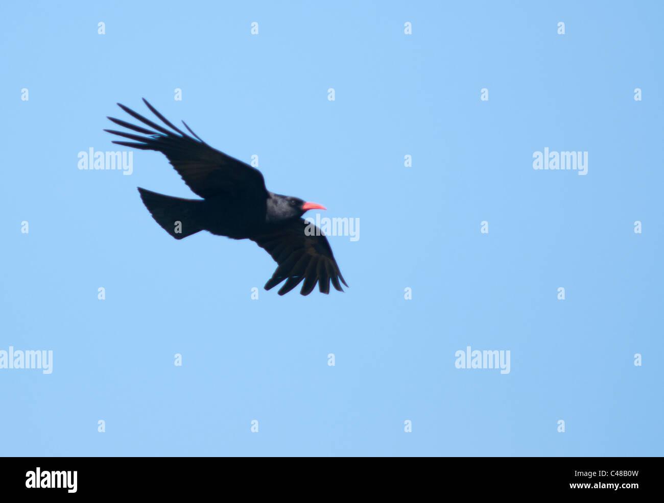 Chough (Pyrrhocorax pyrrhocorax) in flight against blue sky, Pembrokeshire, Wales - Stock Image