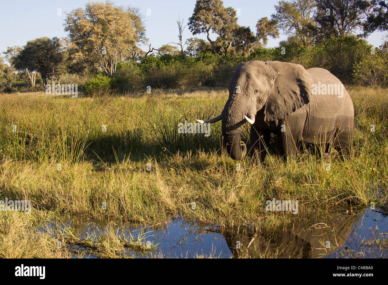 Afrikanischer Elefant (Loxodonta africana), Savuti, Chobe Nationalpark, Botswana, Afrika - Stock Image