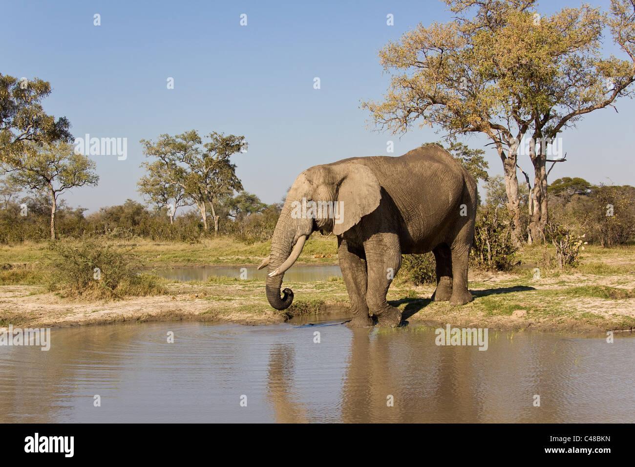 Afrikanischer Elefant (Loxodonta africana) am natürlichen Wasserloch, Savuti, Botswana, Afrika Stock Photo