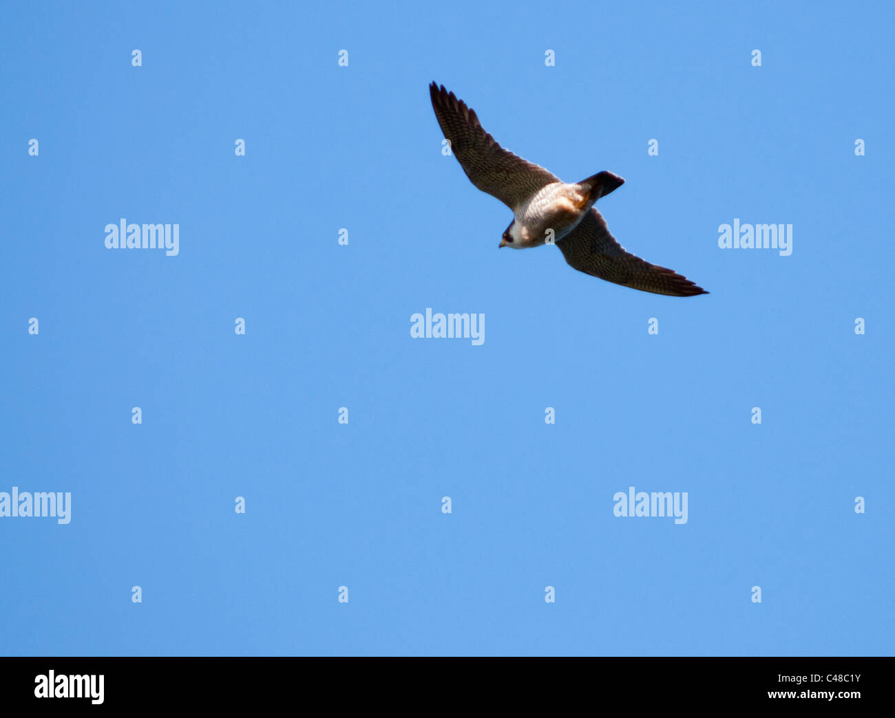 Peregrine Falcon (Falco peregrinus) circling in sky looking for prey below off the Pembrokeshire coast in Wales - Stock Image