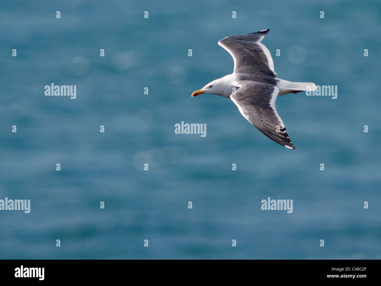 Lesser Black backed Gull (Larus fuscus) gliding over Atlantic, Pembrokeshire, Wales - Stock Image