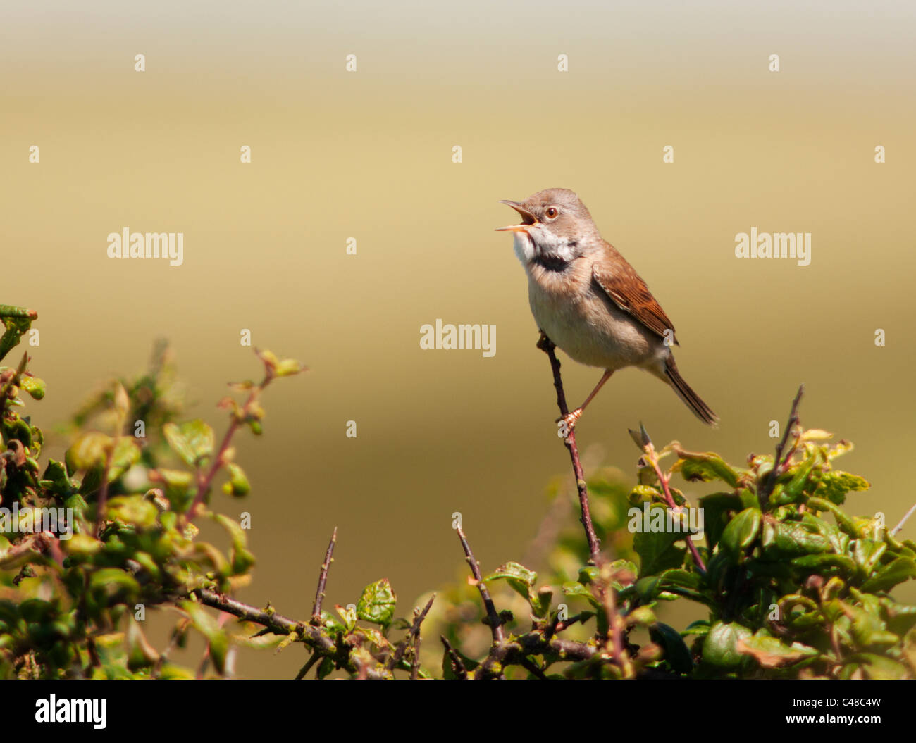 Perched Male Whitethroat (Sylvia communis) singing from bush in Pembrokeshire - Stock Image