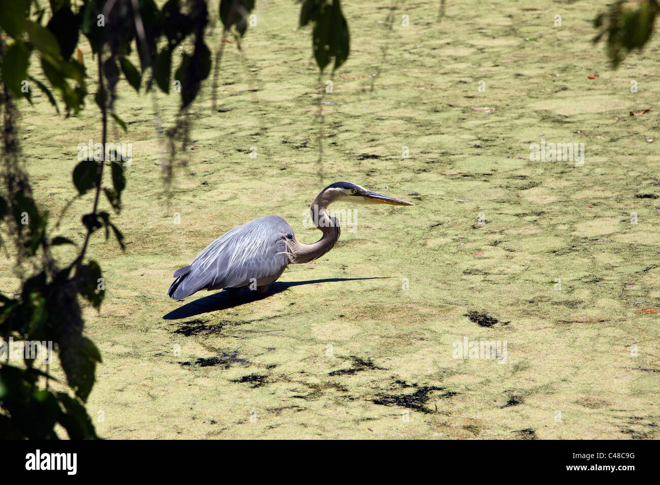 Great Blue Heron wading in a pond at Magnolia Plantation & Gardens, near Charleston, South Carolina, USA - Stock Image
