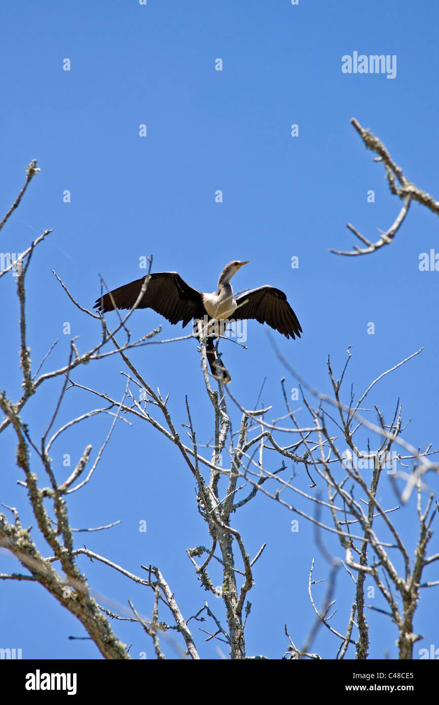 Cormorant bird, Magnolia Plantation & Gardens, near Charleston, South Carolina, USA - Stock Image