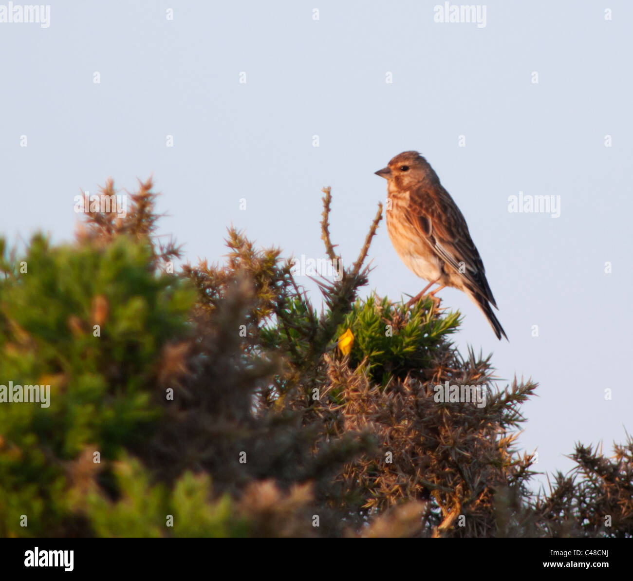 Perched Female Linnet  (Carduelis cannabina) on top of Gorse bush in golden Morning light, Pembrokeshire, Wales - Stock Image