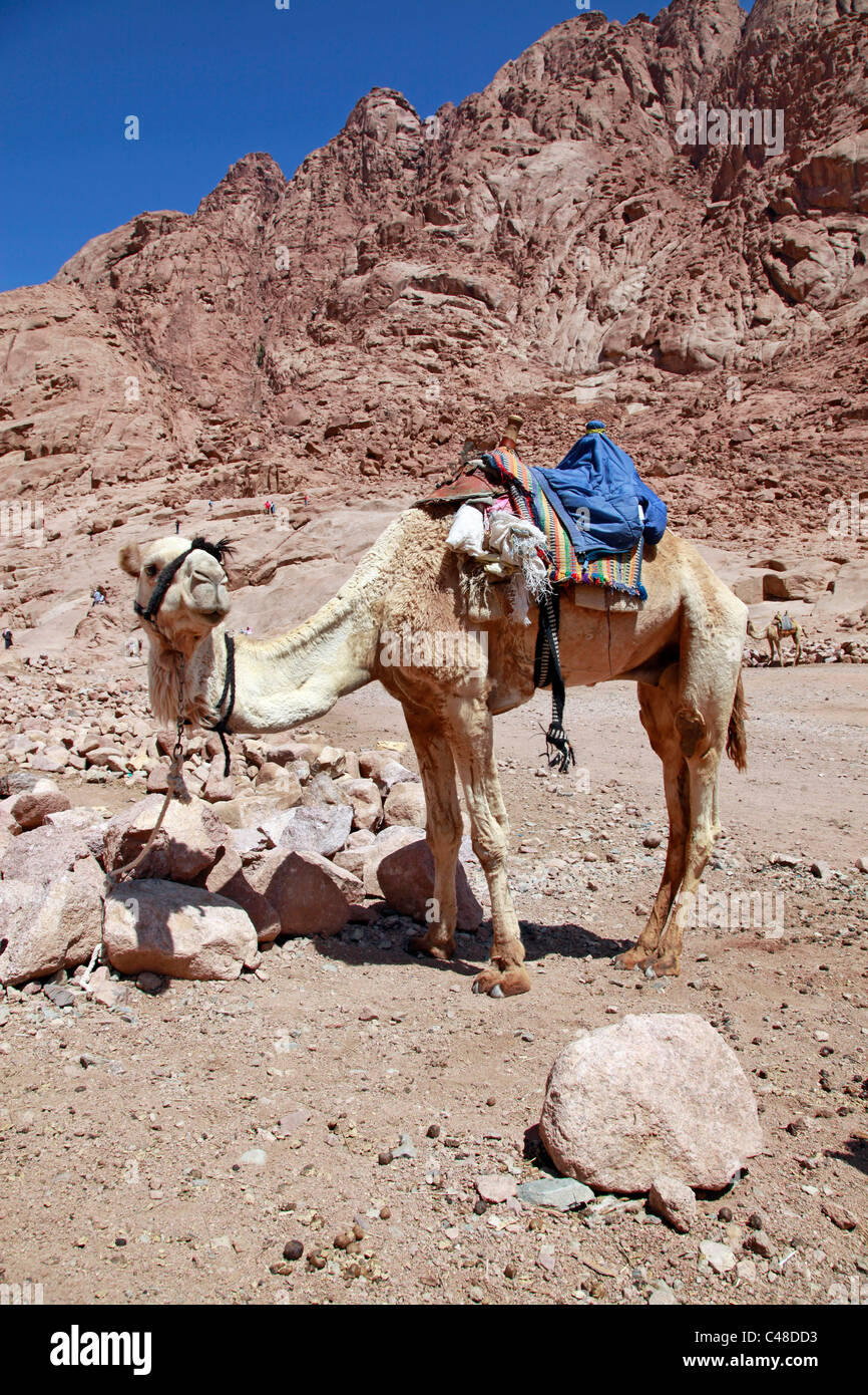 Camel in the desert, South Sinai Peninsula, Egypt - Stock Image