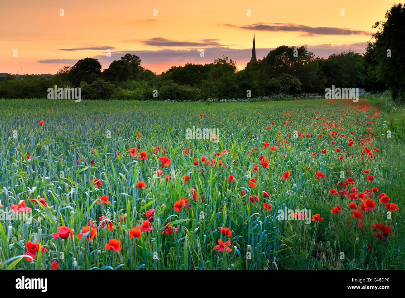 Tetbury Poppy Field Stock Photo