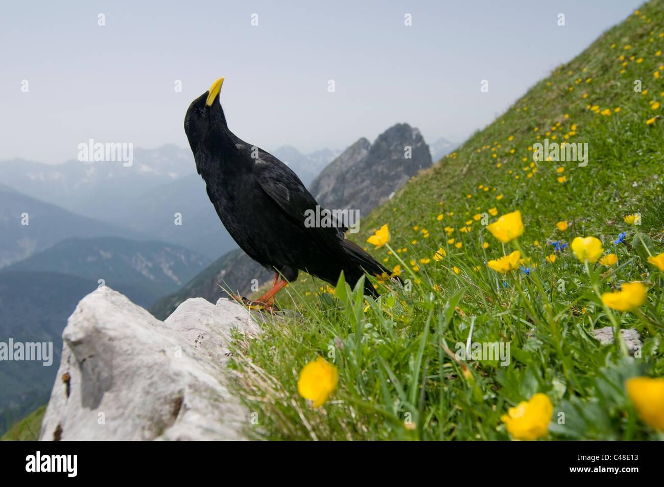 Alpendohle, Pyrrhocorax graculus, Alpine Chough, Westliche Karwendelspitze, Mittenwald, Bayern, Bavaria, Deutschland, Stock Photo
