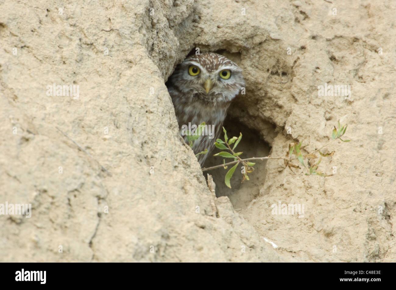 Steinkauz, Athene noctua, Little Owl, Pleven, Bulgarien, Bulgaria - Stock Image