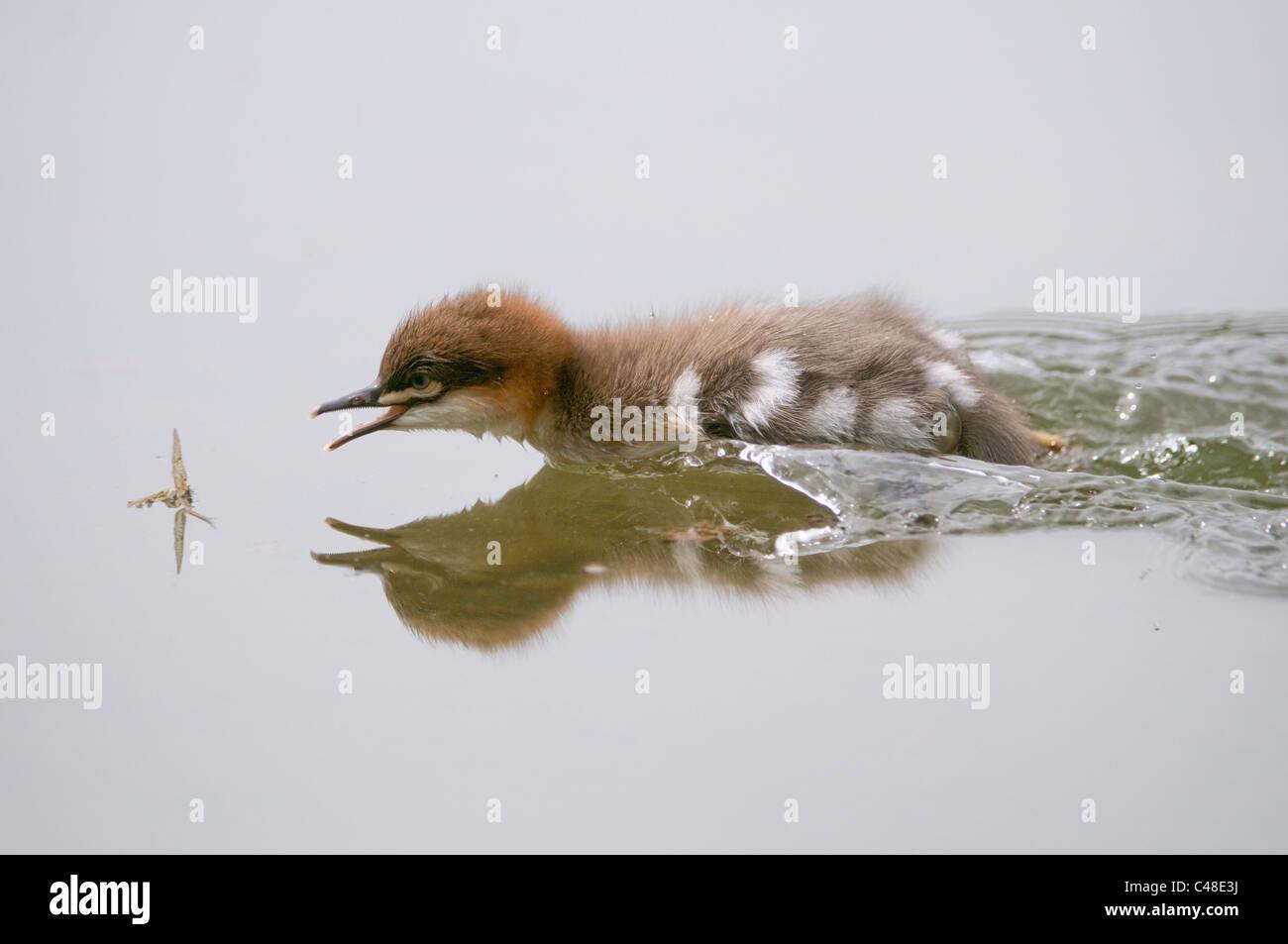 Gaensesaeger, Kueken schnappt eine Eintagsfliege, Mergus merganser, Common Merganser, snapping dayfly, Deutschland, - Stock Image