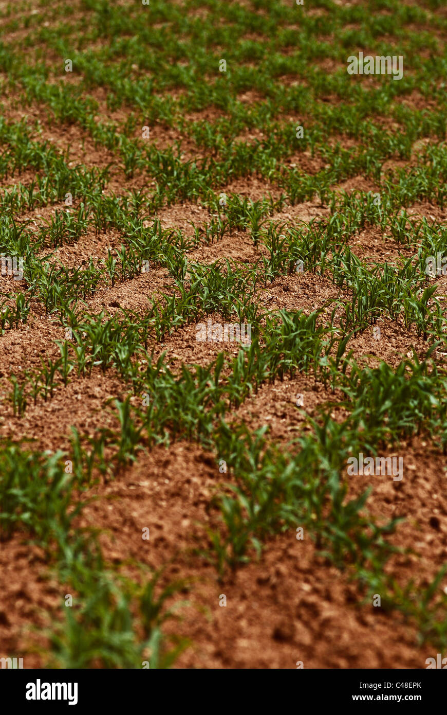 young corn seedling rows overlap forming a checkerboard pattern - Stock Image