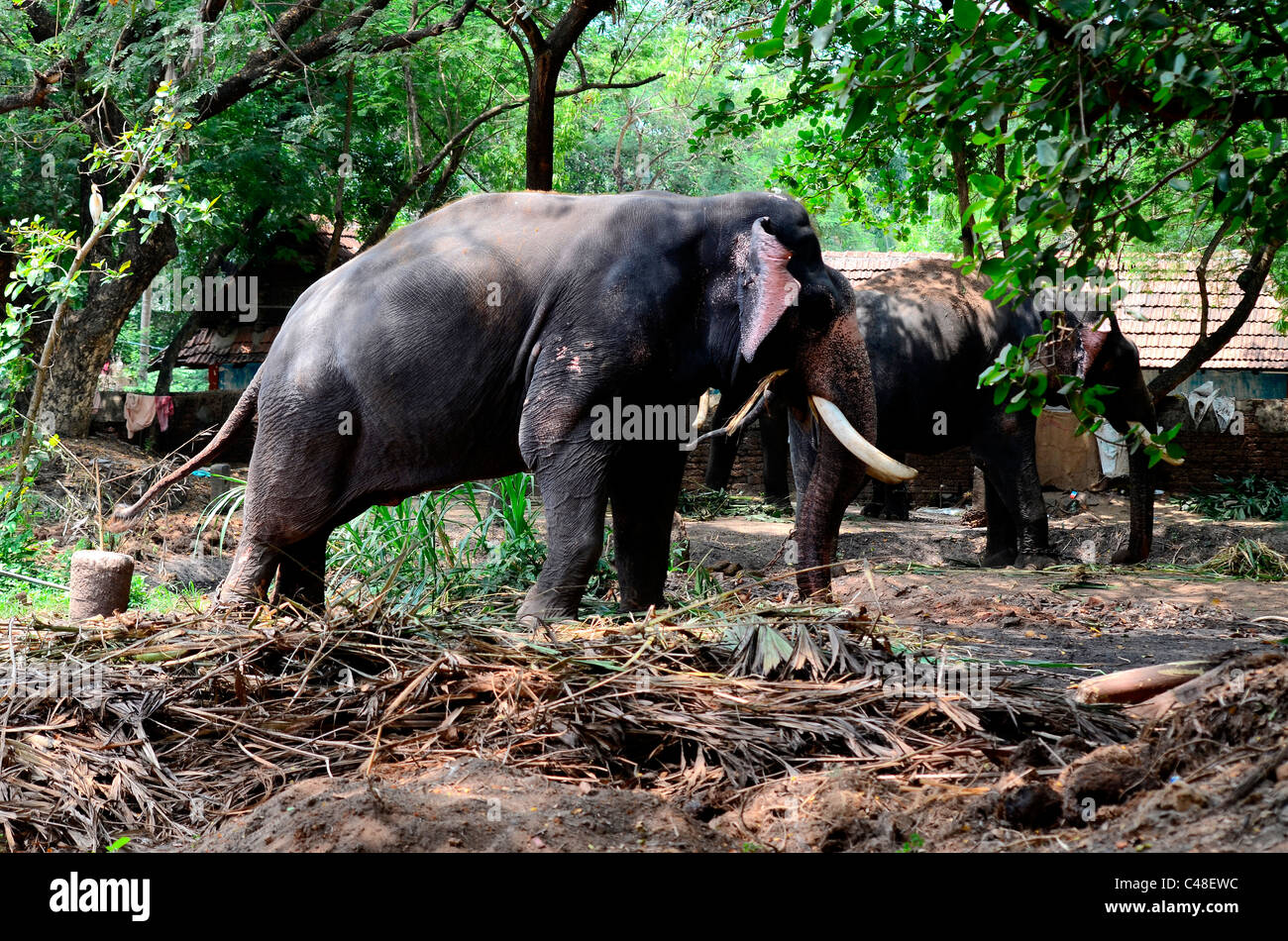 Elephants in a temple of Kerala,India - Stock Image