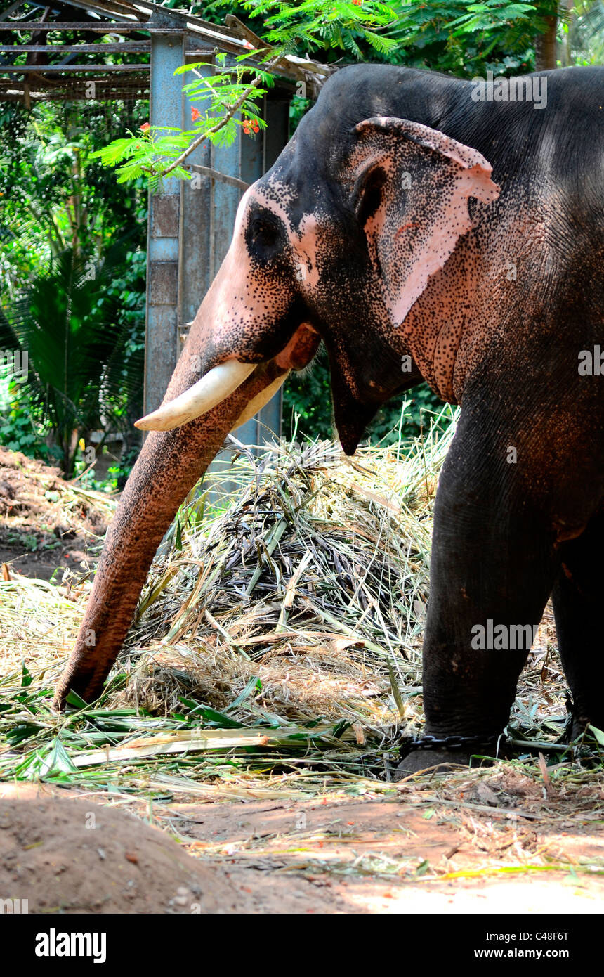 An elephant ( tusker) - Stock Image