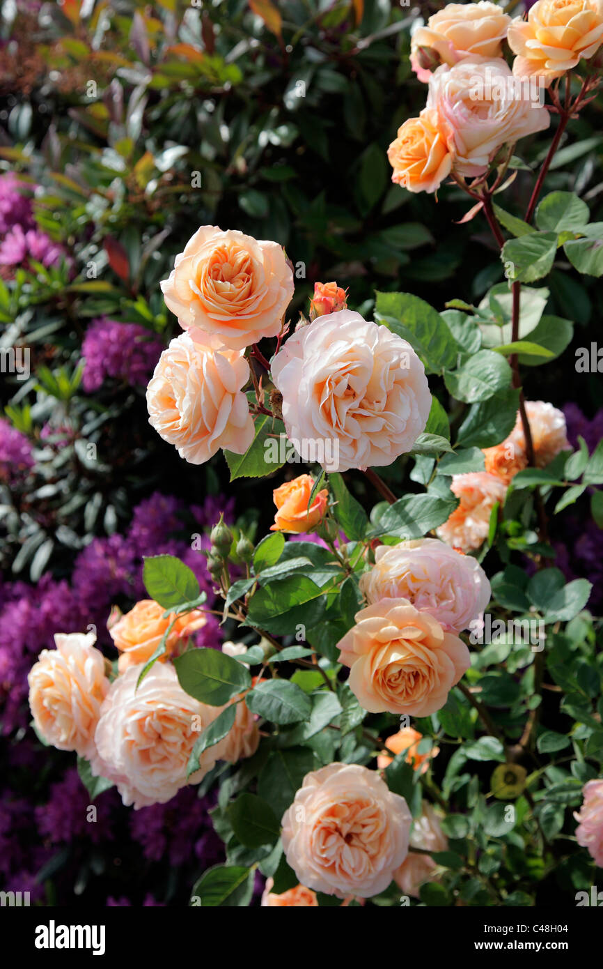 Rosa 'Charles Austin' David Austin New English Rose - Stock Image