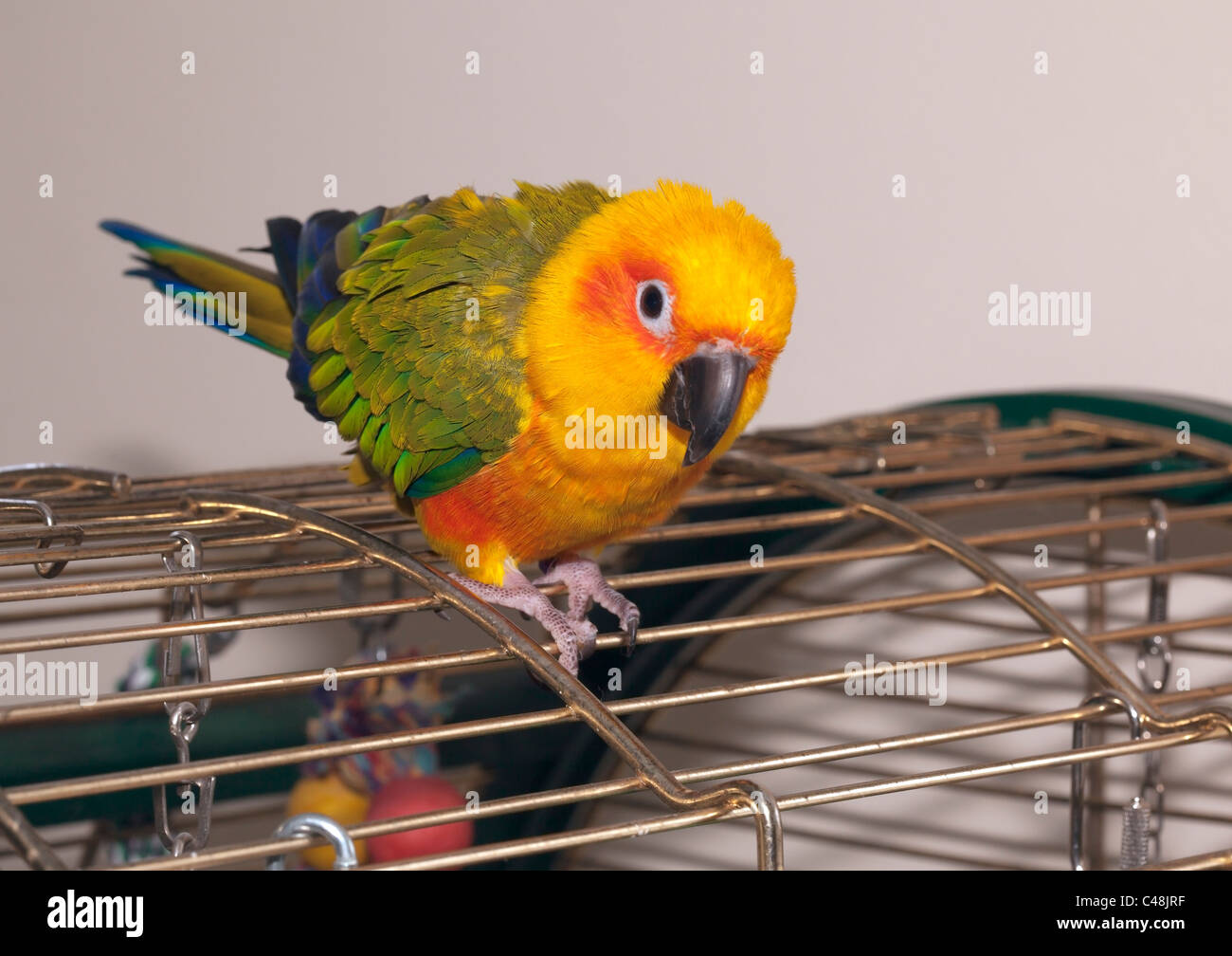 Sun Conure Parrot in house - Stock Image