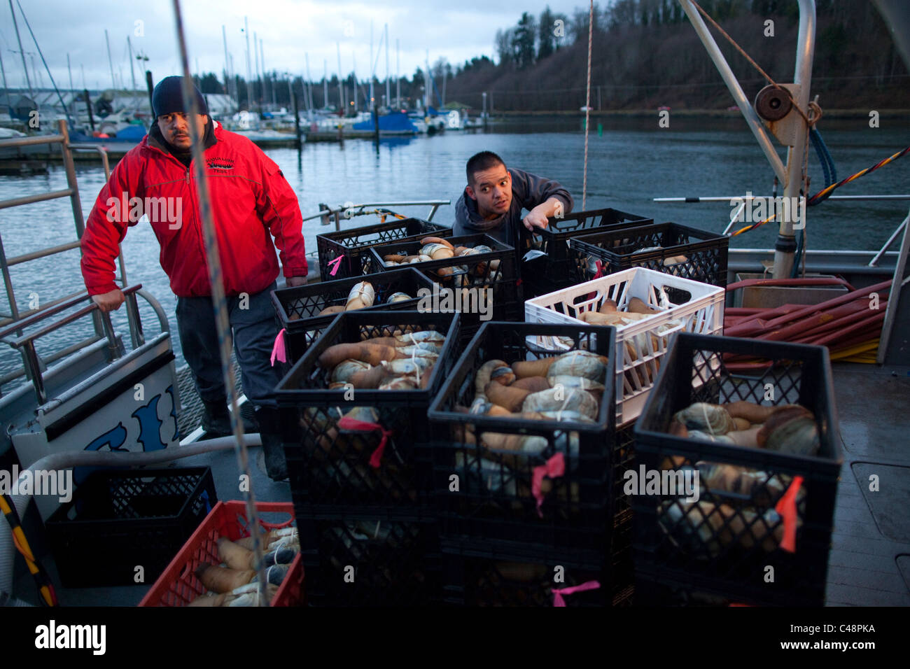 Tribal diversi help off-load harvested geoducks from the vessel in Brownsville, Washington - Stock Image