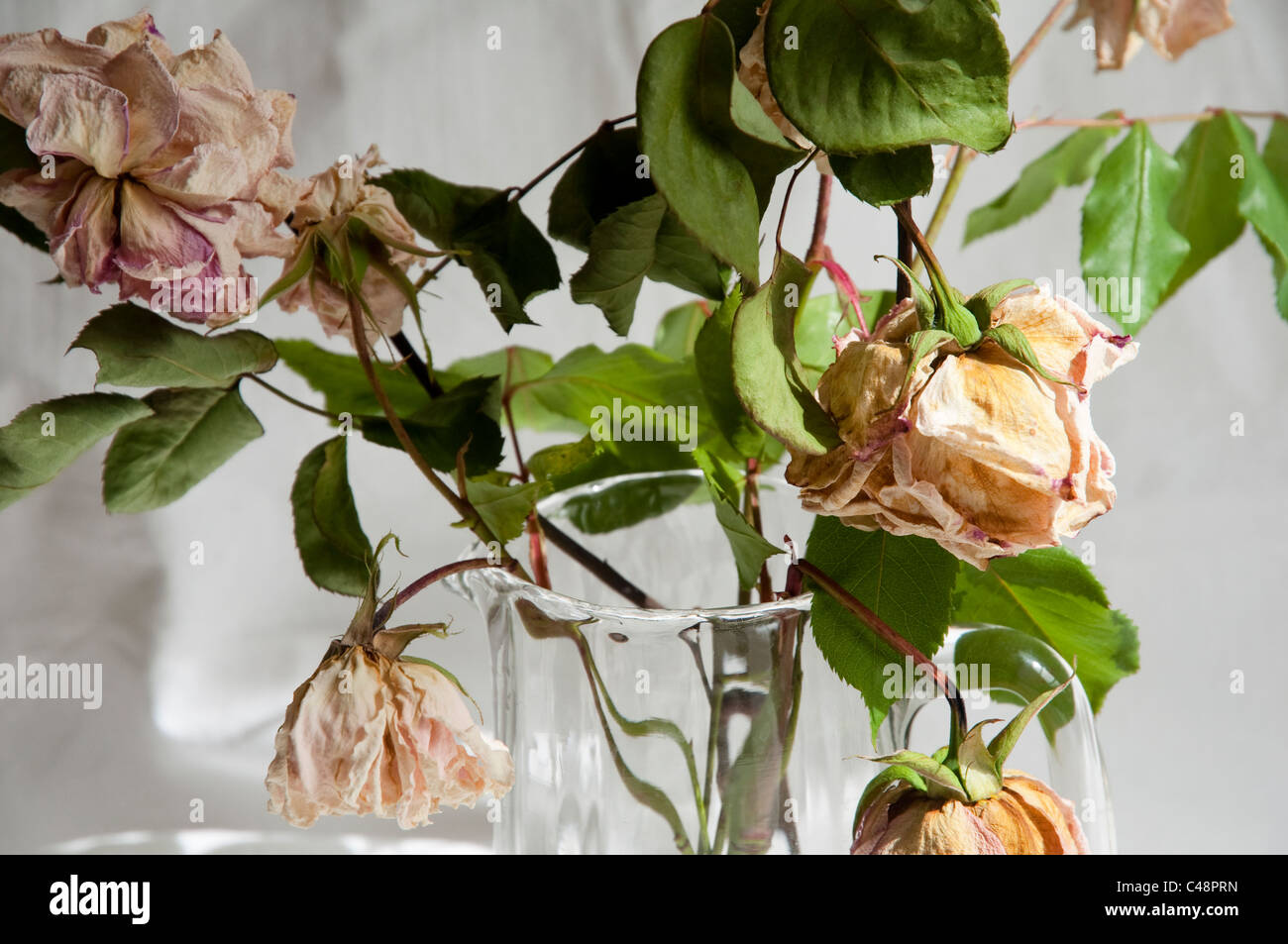 Old and faded roses in a glass jug. - Stock Image